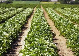 plantacja truskawki